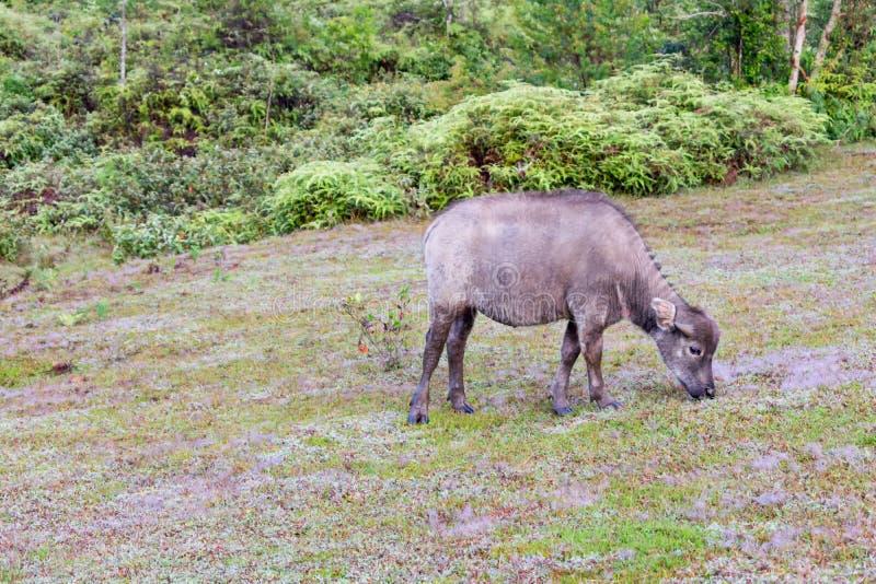 Οι άγριοι βούβαλοι ζουν στο δασικό μέρος 5 στοκ εικόνες
