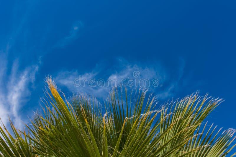 Οι άκρες Wispy ενός φοίνικα βγάζουν φύλλα στον αέρα στοκ εικόνες