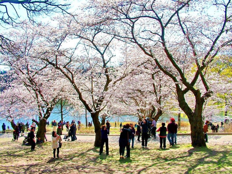 Οι άνθρωποι απολαμβάνουν τα άνθη κερασιών άνοιξη στο Τορόντο ` s, υψηλό πάρκο στοκ εικόνα με δικαίωμα ελεύθερης χρήσης
