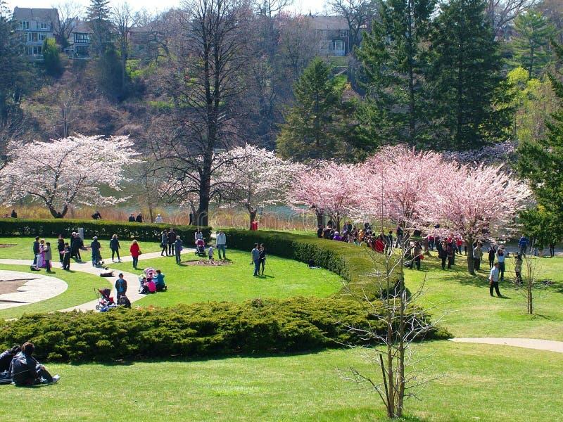 Οι άνθρωποι απολαμβάνουν τα άνθη κερασιών άνοιξη στο Τορόντο ` s, υψηλό πάρκο στοκ εικόνες
