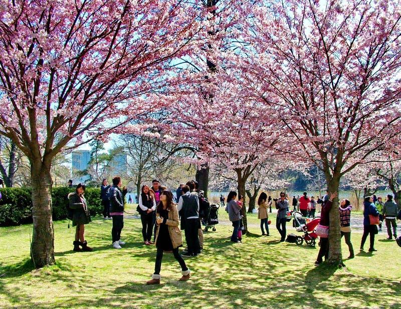Οι άνθρωποι απολαμβάνουν τα άνθη κερασιών άνοιξη στο Τορόντο ` s, υψηλό πάρκο στοκ εικόνα