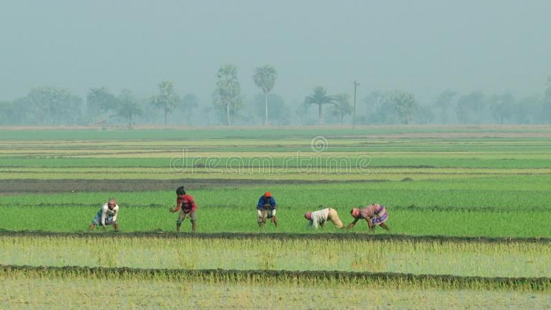 Οι άνθρωποι φυτεύουν το ρύζι στον τομέα ρυζιού σε Jessore, Μπανγκλαντές απόθεμα βίντεο