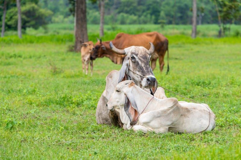 Οι άσπρες και καφετιές αγελάδες Brahman με τα calfs τους στον τομέα στοκ φωτογραφίες