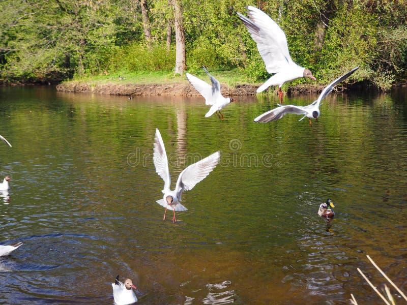 Οι άσπροι γλάροι πετούν πέρα από τη λίμνη στοκ φωτογραφία με δικαίωμα ελεύθερης χρήσης