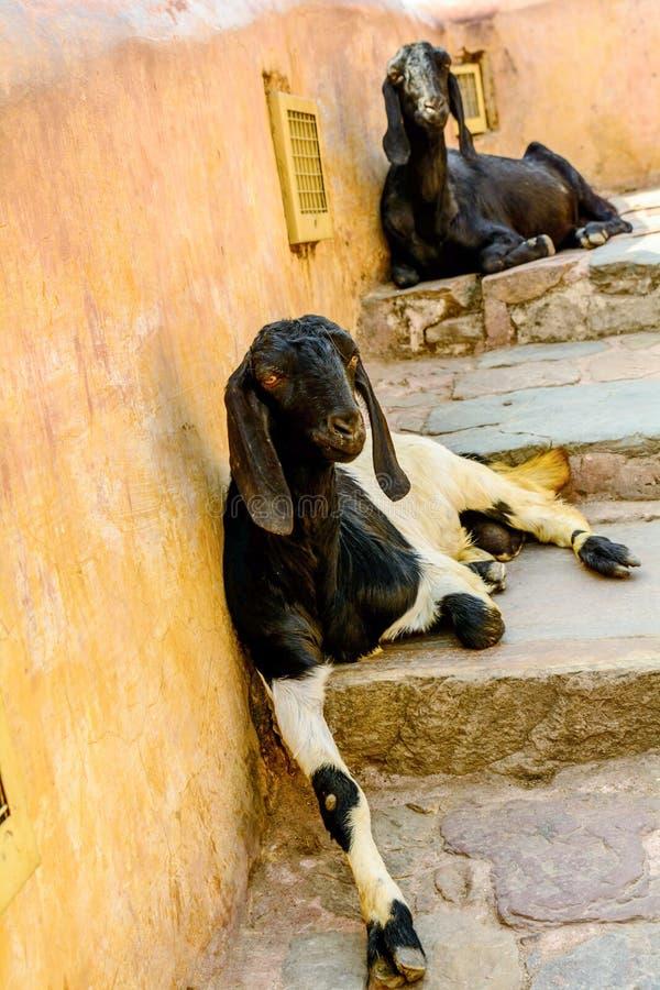 Οι αίγες κάθονται στο μονοπάτι στο Jaipur στοκ εικόνες με δικαίωμα ελεύθερης χρήσης