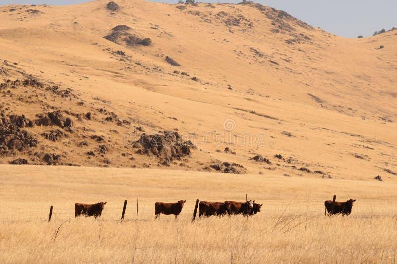 οι αγελάδες βόσκουν απέ& στοκ εικόνες