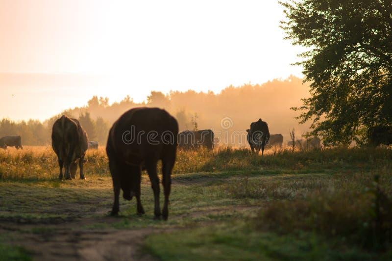 Οι αγελάδες βόσκουν το καλοκαίρι στον τομέα μια ηλιόλουστη ημέρα και τρώνε το πράσινο τριφύλλι αλφάλφα χλόης κάτω στοκ φωτογραφία με δικαίωμα ελεύθερης χρήσης