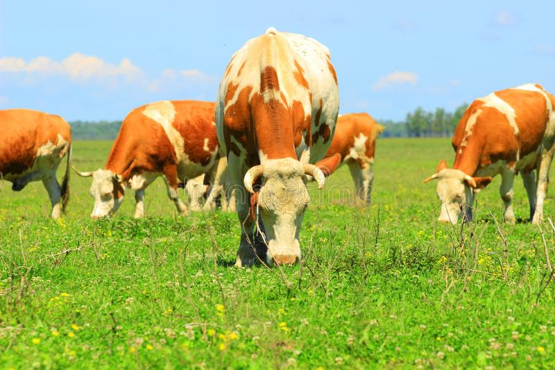 Οι αγελάδες βόσκουν μέσα στοκ φωτογραφία με δικαίωμα ελεύθερης χρήσης