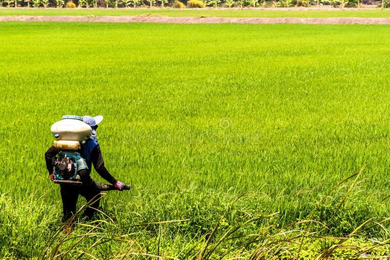 Οι αγρότες εγχέουν τα φυτοφάρμακα προστατεύουν τις εγκαταστάσεις στους τομείς ρυζιού στοκ φωτογραφία