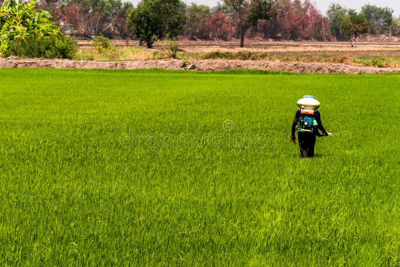 Οι αγρότες εγχέουν τα φυτοφάρμακα προστατεύουν τις εγκαταστάσεις στους τομείς ρυζιού στοκ εικόνα με δικαίωμα ελεύθερης χρήσης