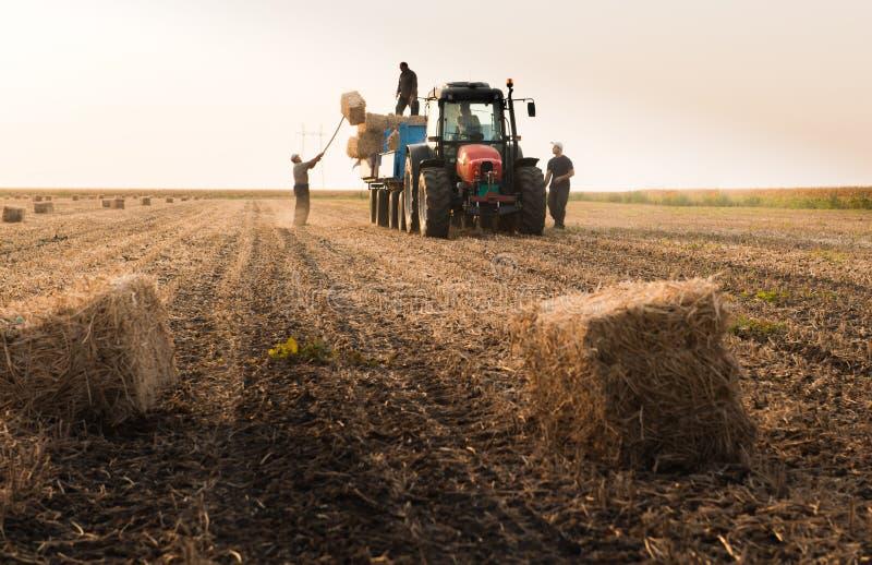 Οι αγρότες ρίχνουν τα δέματα σανού σε ένα ρυμουλκό τρακτέρ - δέματα του σίτου στοκ φωτογραφίες