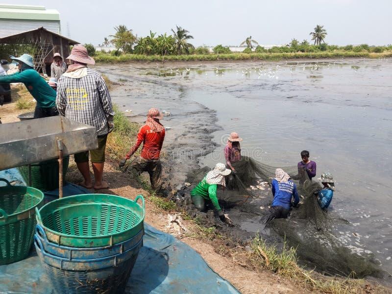 Οι αγρότες της Ταϊλάνδης συγκομίζουν τα ψάρια από τη λίμνη τους με ένα δίχτυ του ψαρέματος στοκ φωτογραφία