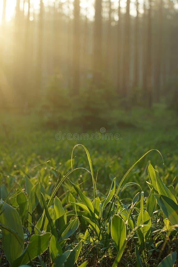 Οι ακτίνες πρωινού του ήλιου φωτίζουν το ξέφωτο των κρίνων της κοιλάδας με τη δροσιά στο δάσος στοκ φωτογραφία με δικαίωμα ελεύθερης χρήσης
