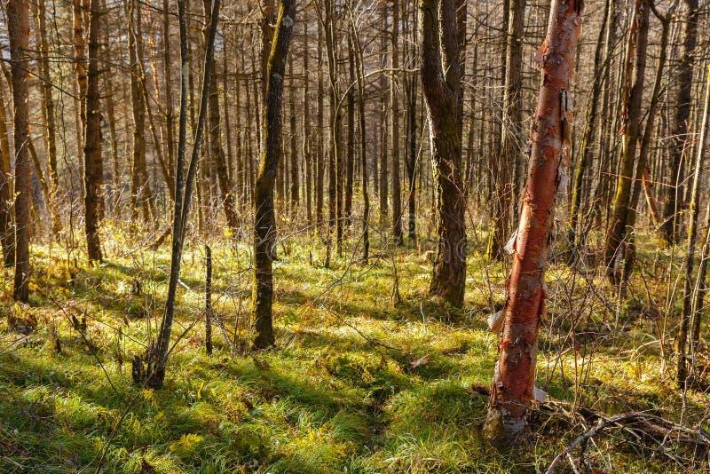 Οι ακτίνες του ήλιου λάμπουν μέσω των κορμών των δέντρων στοκ εικόνα με δικαίωμα ελεύθερης χρήσης