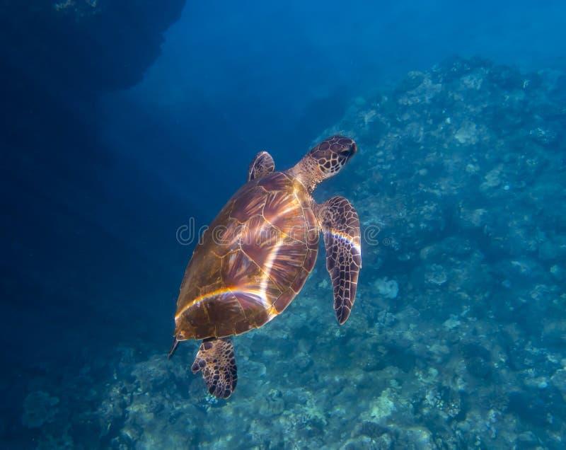 Οι ακτίνες του φωτός κάνουν το ουράνιο τόξο στη χελώνα Shell θάλασσας κάτω από το νερό στη Oc στοκ φωτογραφίες