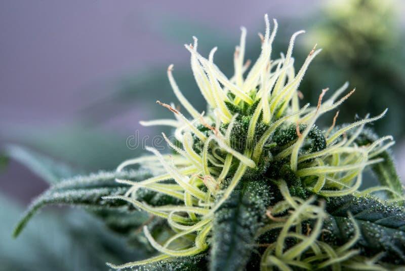 Οι ανθίζοντας καννάβεις φυτεύουν την ιατρική μαριχουάνα στοκ εικόνες