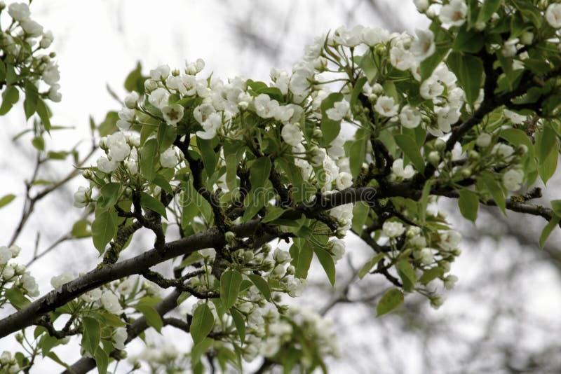 Οι ανθίζοντας κλάδοι δέντρων αχλαδιών μια άνοιξη καλλιεργούν, άσπρα λουλούδια και νέο πράσινο φύλλωμα, υπόβαθρο, σκηνικό στοκ φωτογραφία με δικαίωμα ελεύθερης χρήσης