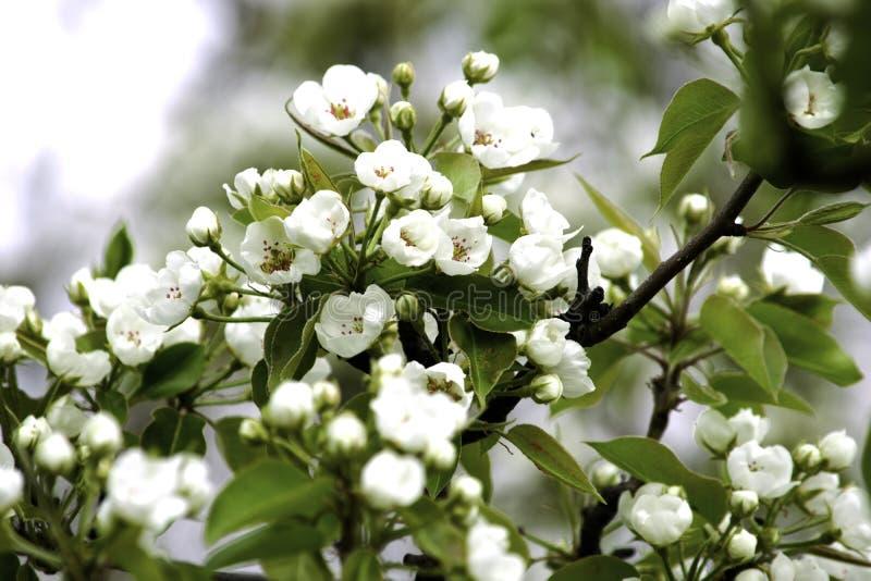 Οι ανθίζοντας κλάδοι δέντρων αχλαδιών μια άνοιξη καλλιεργούν, άσπρα λουλούδια και νέο πράσινο φύλλωμα, υπόβαθρο, σκηνικό στοκ εικόνα με δικαίωμα ελεύθερης χρήσης