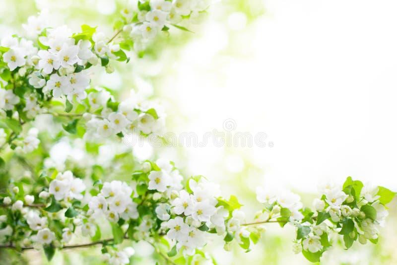 Οι ανθίζοντας κλάδοι δέντρων μηλιάς, άσπρα λουλούδια στα πράσινα φύλλα θόλωσαν bokeh στενό επάνω υποβάθρου, άνθος κερασιών άνοιξη στοκ εικόνα