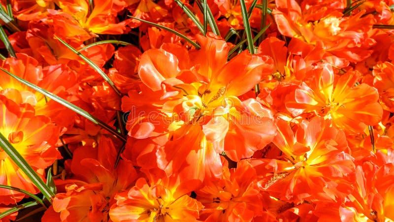 Οι ανθίζοντας τουλίπες στον κήπο Keukenhof, ζωηρόχρωμο υπόβαθρο, Ολλανδία λουλουδιών στοκ φωτογραφία με δικαίωμα ελεύθερης χρήσης