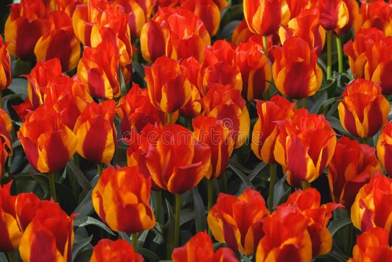 Οι ανθίζοντας τουλίπες κίτρινος-κοκκίνου καλλιεργούν την άνοιξη Keukenhof Ταπετσαρία λουλουδιών στοκ φωτογραφία με δικαίωμα ελεύθερης χρήσης