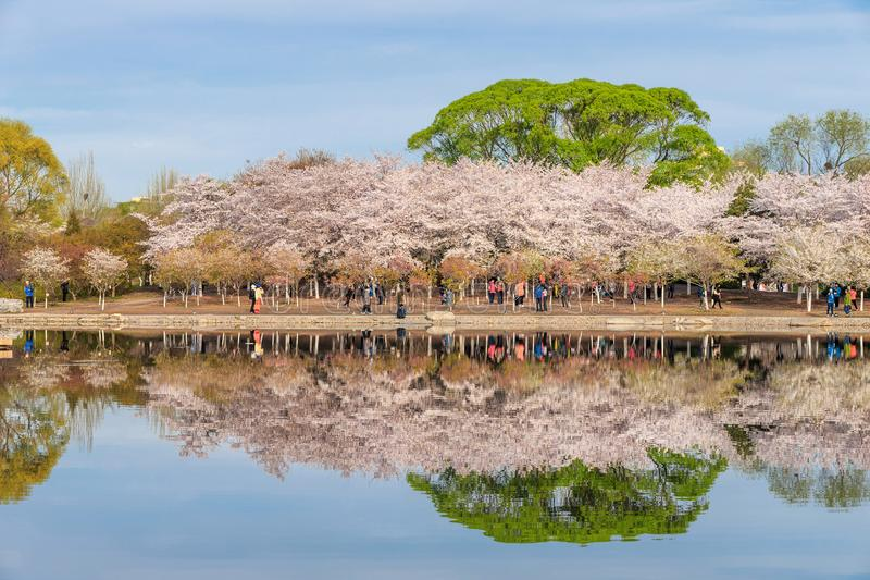 Οι αντανακλάσεις των δέντρων κερασιών στοκ φωτογραφίες