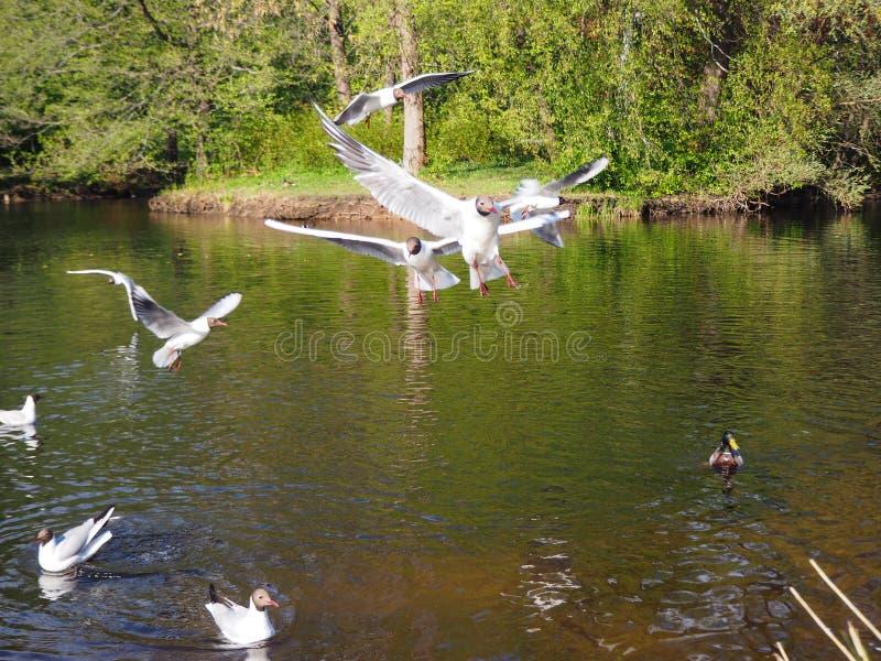 Οι αστείοι άσπροι γλάροι πετούν πέρα από τη λίμνη στοκ φωτογραφίες
