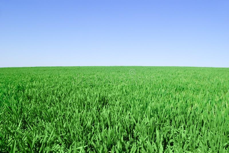 Οι βλαστοί του σιταριού στο υπόβαθρο του μπλε ουρανού στοκ εικόνες με δικαίωμα ελεύθερης χρήσης