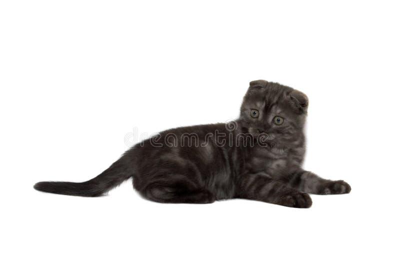 οι γάτες διπλώνουν τα σκωτσέζικα στοκ φωτογραφία