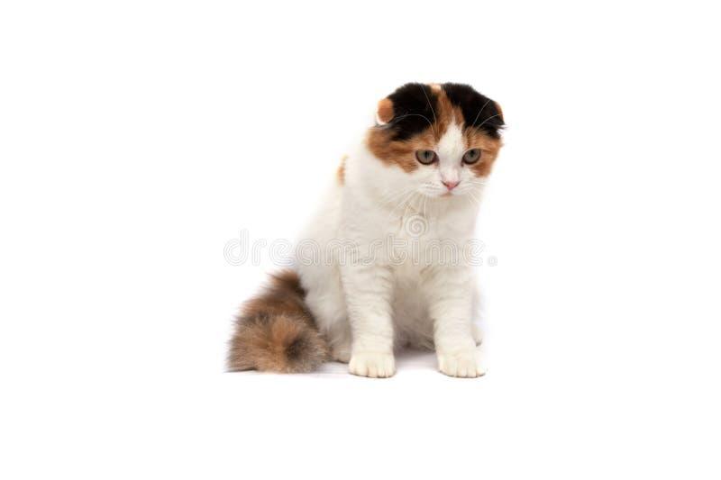 οι γάτες διπλώνουν τα σκωτσέζικα στοκ εικόνες