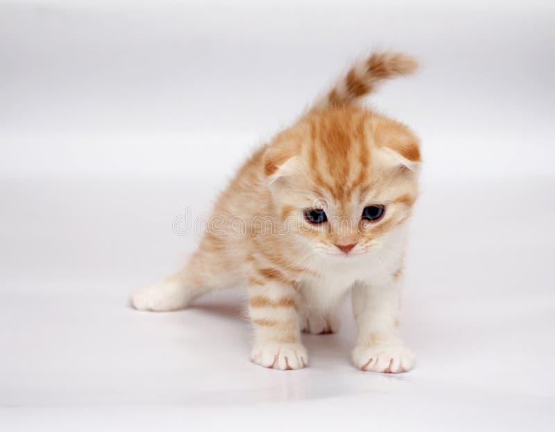 οι γάτες διπλώνουν τα σκωτσέζικα στοκ εικόνες με δικαίωμα ελεύθερης χρήσης