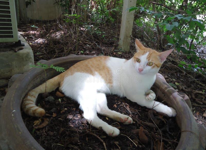 Οι γάτες είναι θηλαστικά, το σώμα των οποίων κυμαίνεται από τη μύτη μέχρι την άκρη της ουράς, μήκους περίπου 40 εκατοστών. στοκ εικόνες με δικαίωμα ελεύθερης χρήσης