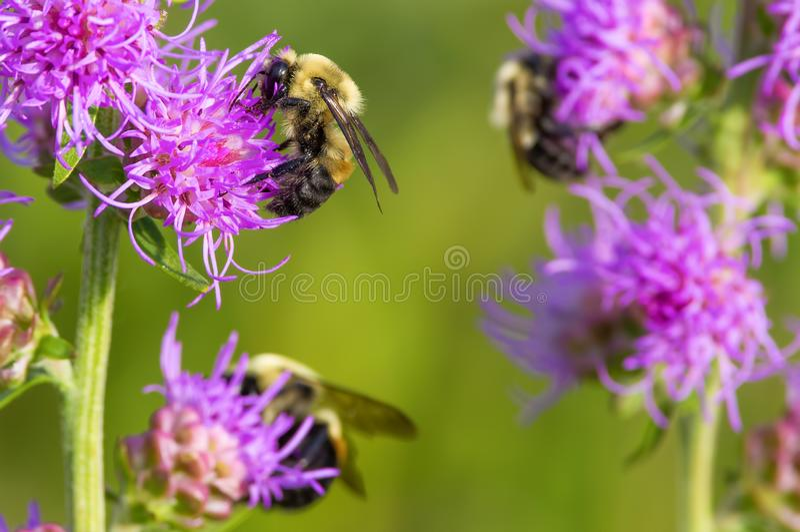 Οι γούνινες χαριτωμένες bumble μέλισσες που ταΐζουν και που επικονιάζουν με αυτό που πιστεύω είναι ένα πορφυρό τραχύ καμμένος λου στοκ εικόνες