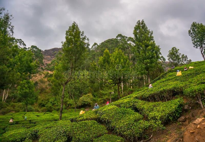 Οι γυναίκες που επιλέγουν τα φύλλα τσαγιού σε μια φυτεία τσαγιού, Munnar είναι πιό γνωστές ως κεφάλαιο τσαγιού της Ινδίας ` s στοκ εικόνα