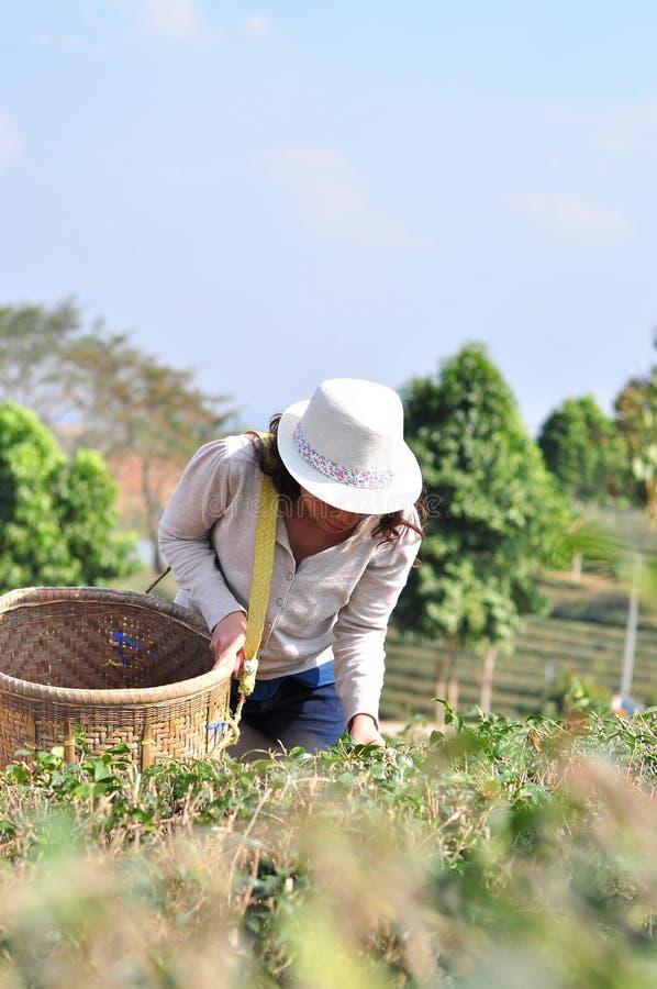 Οι γυναίκες συλλέγουν τα φύλλα τσαγιού στοκ φωτογραφίες με δικαίωμα ελεύθερης χρήσης
