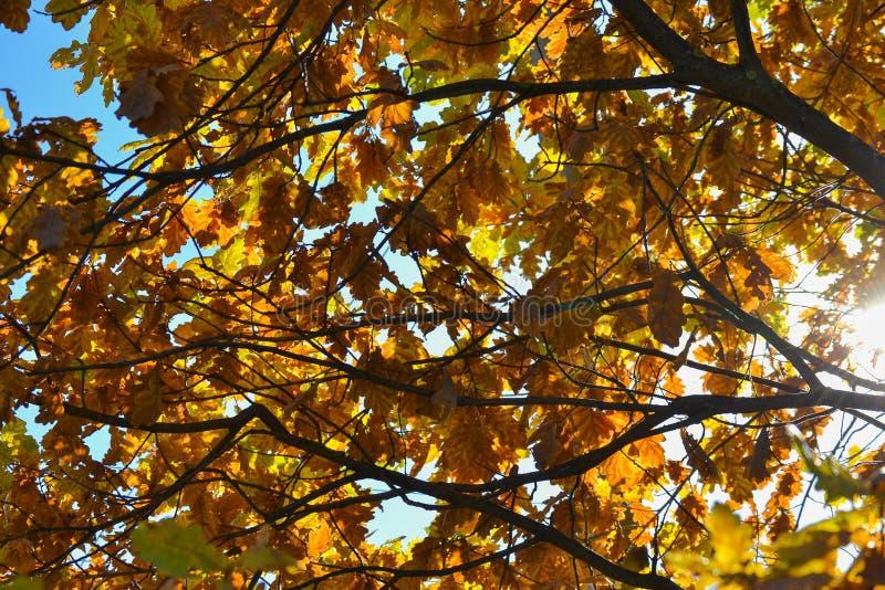 Οι δρύινοι κλάδοι με το φθινόπωρο χρωμάτισαν την κινηματογράφηση σε πρώτο πλάνο φύλλων κίτρινα, κόκκινα, πράσινα φύλλα φθινοπώρου στοκ εικόνες