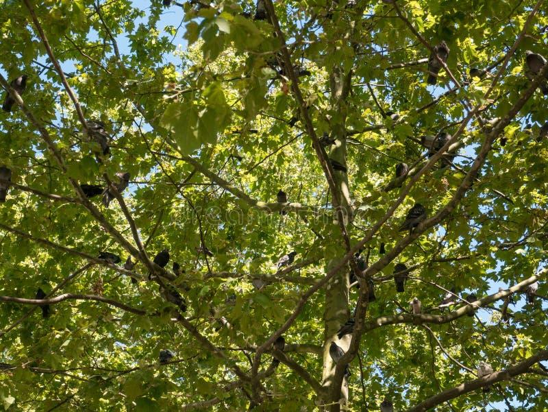 Οι δωδεκάδες των άγριων περιστεριών εσκαρφάλωσαν σε ένα δέντρο το καλοκαίρι με το φως του ήλιου που λάμπει μέσω των κλάδων στοκ εικόνα με δικαίωμα ελεύθερης χρήσης
