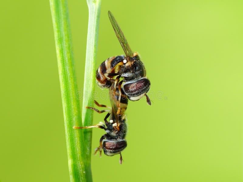 Οι δύο μέλισσες ζευγαρώνουν στις εγκαταστάσεις στοκ φωτογραφία