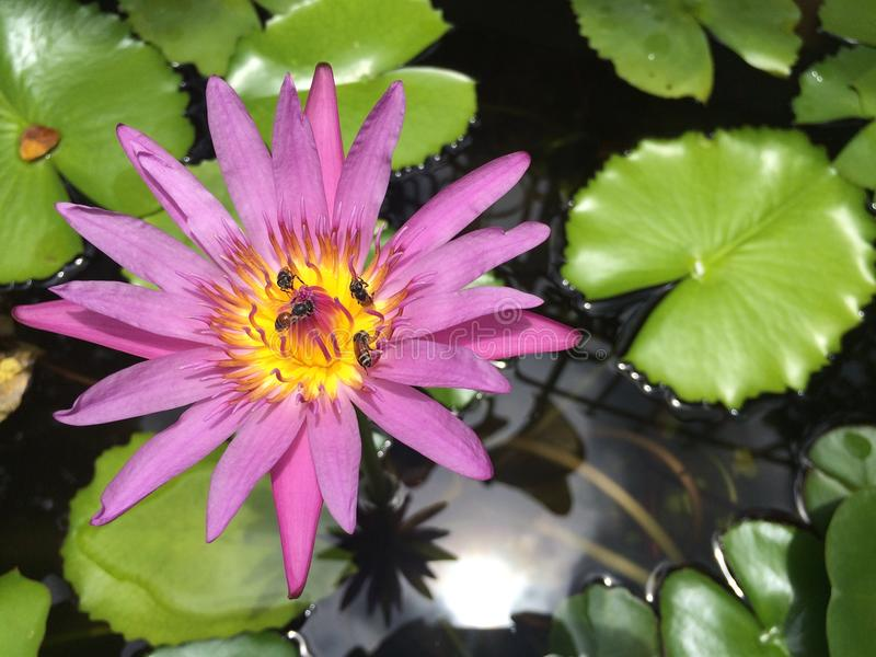 Οι εγκαταστάσεις λουλουδιών Lotus επιπλέουν στον ήρεμο κήπο ποταμών με την ελαφριά αντανάκλαση ήλιων σε μια λίμνη, μέλισσες που α στοκ εικόνα με δικαίωμα ελεύθερης χρήσης