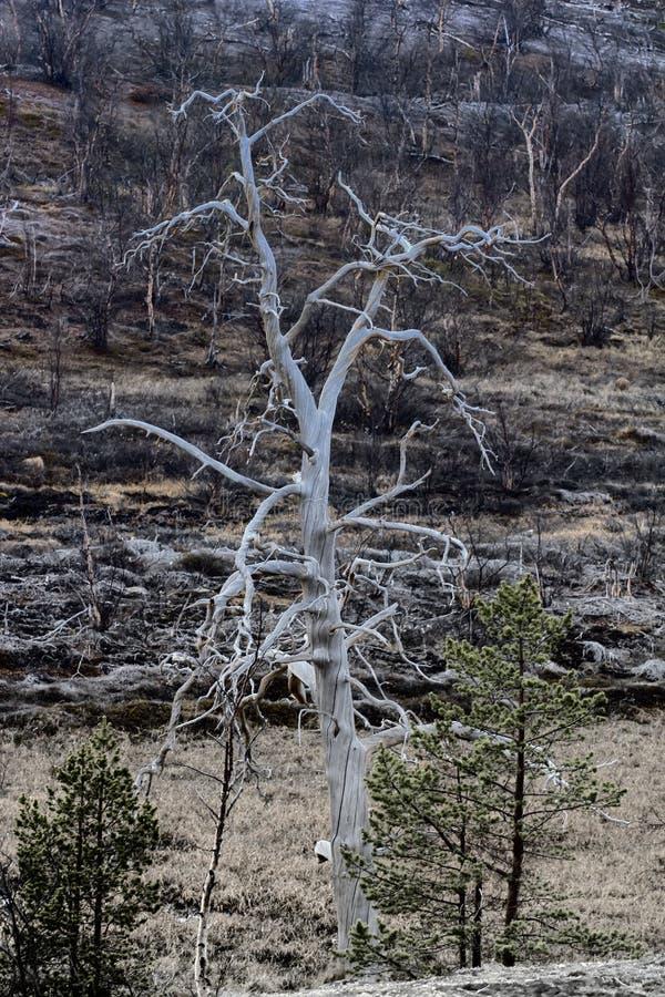 Οι εγκαταστάσεις του δασικός-tundra πέθαναν λόγω των εγκαταστάσεων λευκόχρυσος-νικελίου ατμοσφαιρικής ρύπανσης στοκ εικόνες