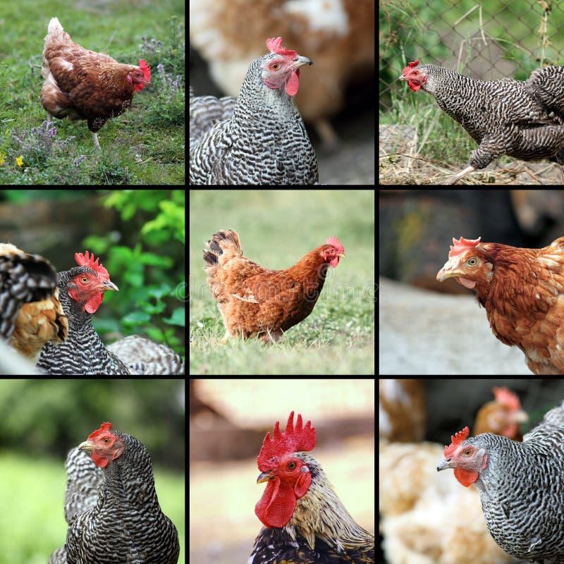 Οι εικόνες ζωικού κεφαλαίου διαμορφώνουν το αγρόκτημα στοκ φωτογραφίες με δικαίωμα ελεύθερης χρήσης