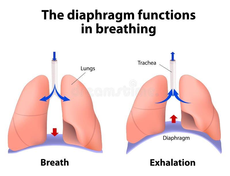 Οι λειτουργίες διαφραγμάτων στην αναπνοή διανυσματική απεικόνιση