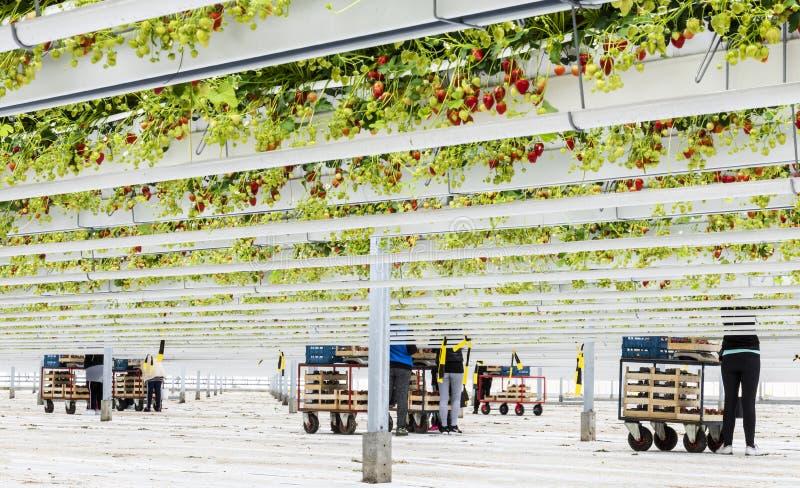 Οι εργαζόμενοι στο γυαλί φραουλών στεγάζουν στοκ εικόνα με δικαίωμα ελεύθερης χρήσης
