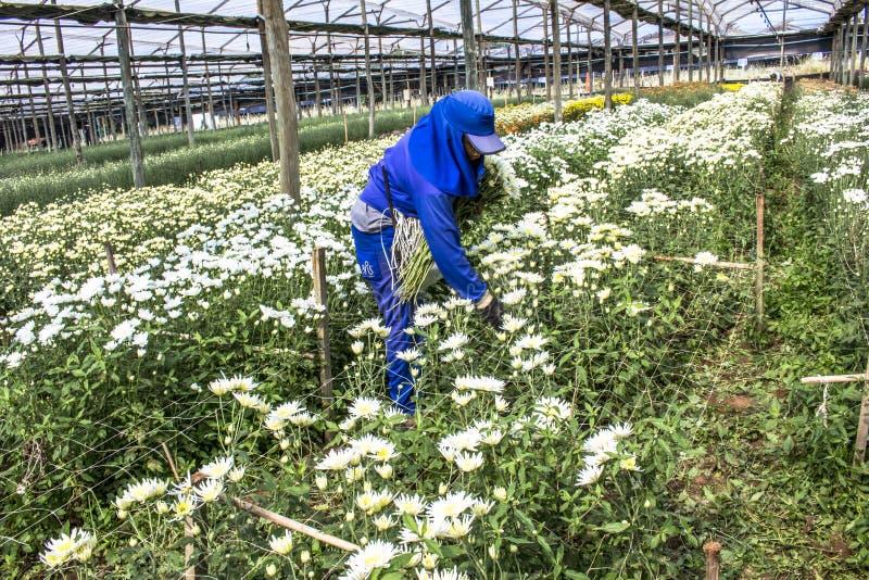 Οι εργαζόμενοι συγκομίζουν τα λουλούδια gérberas σε ένα θερμοκήπιο στοκ εικόνα με δικαίωμα ελεύθερης χρήσης