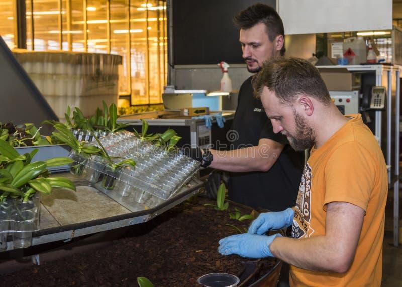 Οι εργαζόμενοι φυτεύουν το θερμοκήπιο ορχιδεών μοσχευμάτων στοκ εικόνες με δικαίωμα ελεύθερης χρήσης