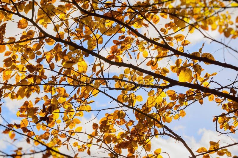 Οι ζωηρόχρωμοι κλάδοι φθινοπώρου σε ένα υπόβαθρο του δροσερού μπλε ουρανού, έννοια του φθινοπώρου έχουν έρθει στοκ φωτογραφία με δικαίωμα ελεύθερης χρήσης