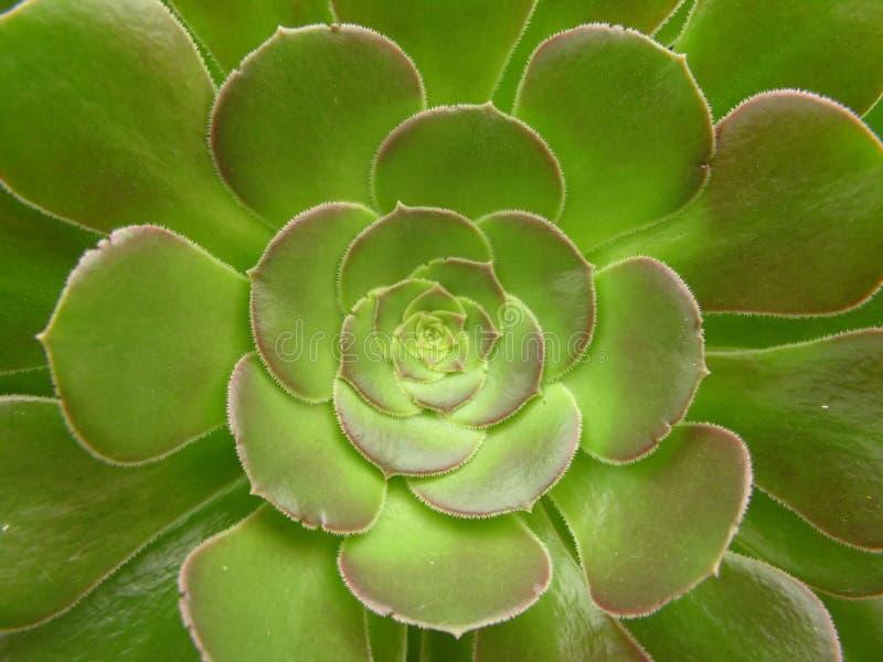 οι κάκτοι ανθίζουν πράσινο στοκ φωτογραφία με δικαίωμα ελεύθερης χρήσης