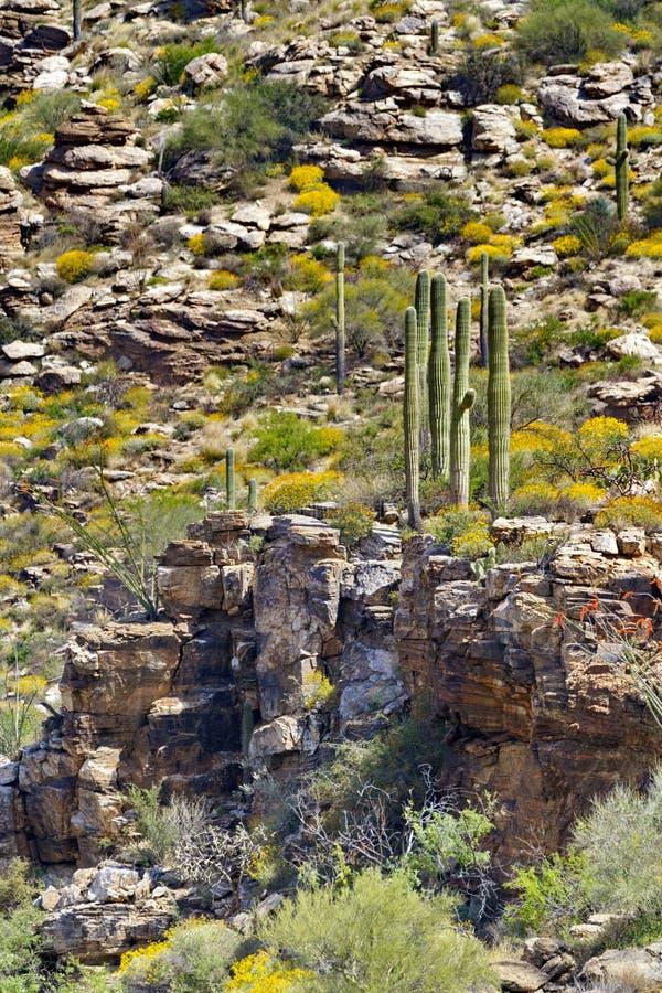 Οι κάκτοι Saguaro στέκονται στη δύσκολη προεξοχή στο υποστήριγμα Lemmon, ένα νησί ουρανού στοκ εικόνες με δικαίωμα ελεύθερης χρήσης