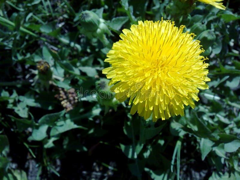 Οι κήποι ανθίζουν dandelionyellow το φυτικό farmrussia αγροτικής ζωής κήπων χωρών κήπων λουλουδιών σχεδίου τοπίων κήπων άνθισης α στοκ φωτογραφίες με δικαίωμα ελεύθερης χρήσης