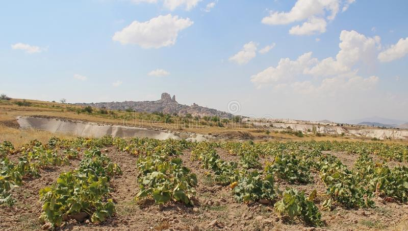 Οι κίτρινες κολοκύθες αυξάνονται στον τομέα Φύση κοντά στα χωριά Uchisar και Goreme, Τουρκία Αγροτικό τοπίο Cappadocia στοκ εικόνα